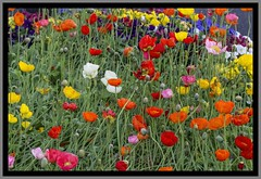 Toowoomba Flowers Poppies-01=
