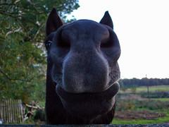 Ko by si umia... (ChemiQ81) Tags: horse caballo cheval poland polska polish polen pferd polonia pologne   polsko ko  puola plland lenkija lengyelorszg lengyel k pollando k   poola poljska polija posko pholainn       chemiq polanya lengyelorszgban