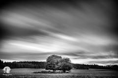 Two trees (warmianaturalnie) Tags: bw white black tree nature landscape long exposure poland nd warmia