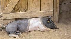 Snorrrrrr, snorrrrr (Sugardxn) Tags: animals photoshop garden botanical pig albuquerque canoneos20d critters hog sugardxn garypentin