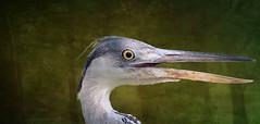 IMG_2626 Joung grey heron - ON EXPLORE # 199 (pinktigger) Tags: italy bird heron nature italia friuli greyheron fagagna airone oasideiquadris feagne magicunicornmasterpiece