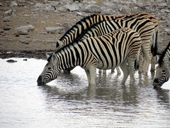 Plains zebra (Equus quagga, formerly Equus burchelli) (Linda DV) Tags: africa travel nature canon river geotagged nationalpark zebra namibia etosha southernafrica equidae plainszebra burchellszebra 2013 geomapped equusquagga lindadevolder powershotsx40 vision:outdoor=0895