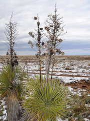 Hope - Soaptree Yucca with Open Seedpods (Drriss &a