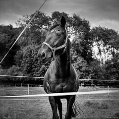 Black Beauty II (M a r c O t t o l i n i) Tags: bw horse black 6x6 film zeiss square cheval switzerland countryside noir suisse kodak trix nb apples mf carré vaud trix400 hasselblad500cm macroplanar vuescan epsonv700 epsonperfectionv700 marcottolini macroplanar40120mm