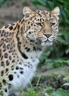 'Milena' - Amur Leopard