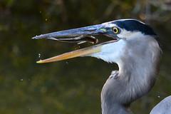 Sitting in Limbo (NaturalLight) Tags: fish heron kansas blueheron wichita greatblueheron limbo chisholmcreekpark