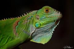 George (Jchales.co.uk) Tags: orange green colours bright bokeh iguana scales spike spikey spikes catchy repile 2013 canonef100mmf28macro 430exii yongnuo yn622 jchalescouk