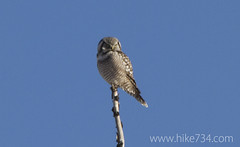 """Northern Hawk Owl • <a style=""""font-size:0.8em;"""" href=""""http://www.flickr.com/photos/63501323@N07/11474907926/"""" target=""""_blank"""">View on Flickr</a>"""