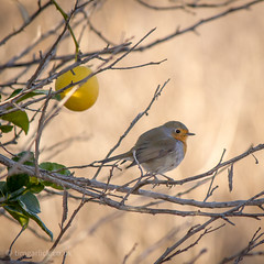 354/365/2013 - The Robin and the er... Lemon (TimGarlick) Tags: robin lemon 365 porject365