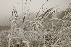 frosty gold (peter pirker) Tags: winter canon gold austria österreich frost frosty kärnten carinthia gras dezember halme sättigung seeboden peterfoto eos550d peterpirker