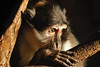 White-naped Mangabey Gaze