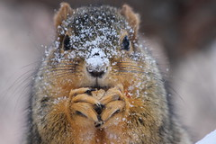 230/365/2056 (January 27, 2014) - Squirrel on a Very Cold Winter Day at the University of Michigan (January 27, 2014) - Explored! (cseeman) Tags: winter snow cold tree cute animal campus squirrels michigan annarbor universityofmichigan project365 vision:outdoor=0725 2014project365coreys umsquirrels01227014 yearsixproject365coreys