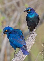 Cape Glossy Starling (Lamprotornis nitens) (Jeluba) Tags: bird nature vertical canon southafrica wildlife aves ornithology birdwatching oiseau kruger afriquedusud capeglossystarling lamprotornisnitens 2013 choucadorpaulettesrouges rotschulterglanzstar simplysuperb