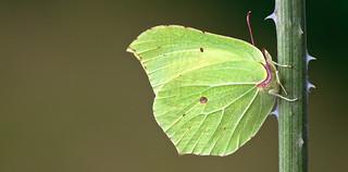 Gonepteryx rhamni (Brimstone, citroenvlinder)