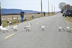 crossing (SusanCK) Tags: geese snowgeese skagitvalleywashington susancksphoto