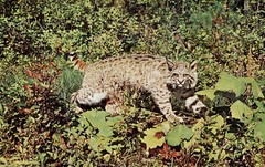 Canadian Lynx, Taxidermy (SwellMap) Tags: animal animals vintage pose pc stuffed 60s fifties wildlife postcard hunting posing kitsch retro taxidermy nostalgia chrome americana 50s roadside populuxe sixties midcentury atomicage