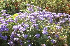 "Flowers at Delano Garden <a style=""margin-left:10px; font-size:0.8em;"" href=""http://www.flickr.com/photos/91915217@N00/12450573514/"" target=""_blank"">@flickr</a>"