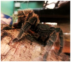 Hairy legs (FearfulStills) Tags: hairy pet animal insect spider legs web arachnid fear silk exotic tarantula predator shelob