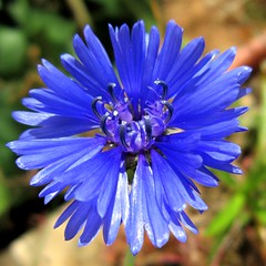Centaurea cyanus -   (yoel_tw) Tags: centaureacyanus  a3300  a3300is powershota3300is canonpowershota3300