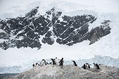 Antarctica 275 (Morten Skovgaard) Tags: travel snow cold ice expedition nature animals penguin penguins wildlife antarctica adventure seal seals iceberg zodiac polar rare plancius southpole antarktis sydpolen mortenskovgaard oceanwideexpeditions godknd