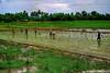 filipinos planting rice (Rex Montalban Photography) Tags: philippines rexmontalbanphotography