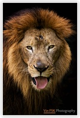 The Portrait Of The King (Vin PSK) Tags: wild portrait nature animal king lion beast