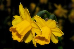 Dwarf Daffodil - Tete a Tete (Paul Sibley) Tags: flower yellow daffodil photoaday nikond60 3652014