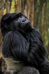 Mountain Gorilla (MyKeyC) Tags: africa gorilla rwanda mountaingorilla aaacolevanscd aaacolgorilla
