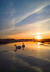 Swans (Antti Tassberg) Tags: windows sunset sun bird mobile suomi finland nokia swan helsinki phone sundown scandinavia 1020 lintu seurasaari auringonlasku carlzeiss aurinko uusimaa joutsen kevät meilahti lumia mobilephotography pureview iphoneography lumia1020