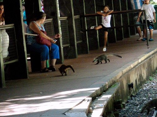 Coatis, Chutes d'Iguazu, Argentine