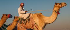 Deserts and Camels 131107 17_05_02 (Renzo Ottaviano) Tags: race al dubai desert united racing course emirates camel arab lorenzo races camels corrida emirate deserts uniti renzo unis arabi carrera corsa emirati unidos camellos chameaux rabes kamelrennen   arabes ottaviano camelos emiratos emirados vereinigte arabische cammelli emiratiarabiuniti mirats     marmoun