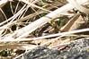 Viviparous Lizard #11 (Yardie 83) Tags: uk wild england sun sunlight nature spring natural reptile wildlife sunny lizard devon common sunbathing basking sunning lacerta viviparouslizard commonlizard springwatch uknature vivipara viviparous ukwildlife specanimal zootoca lacertazootocavivipara
