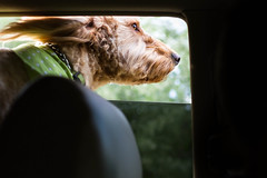 18/52 - Maizy sniffing the air (Jules Clark) Tags: pets dogs goldenretriever groomed carride goldendoodle maizy groodle project52 canon7d 52weeksfordogs thelittledoglaughedohtellusstories