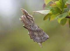 Pale Prominent (Pterostoma palpina) (Frode Falkenberg) Tags: norway spectacular moths bergen hordaland minde paleprominent spectaculaanimals pterostomapalpina nebbspinner srborg