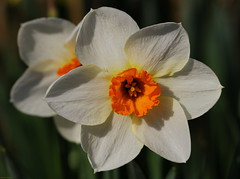 Daffodils (Explore) (Diane Marshman) Tags: daffodil flower blossom blooms spring bloomer tall perennial plant white petals orange center narcissus amaryllis northeast pa pennsylvania nature explore