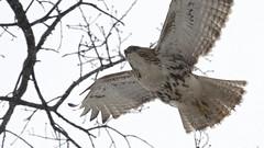 Snow Flight (mausgabe) Tags: nyc snow bird hawk centralpark olympus juvenile redtail em1 theramble olympusmc14teleconverter olympusm40150mmf28