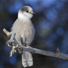 Animated Gray Jay (maryanne.pfitz) Tags: bird nature minnesota jay wildlife stick perched sax songbird stlouiscounty grayjay watchful perisoreuscanadensis saxzimbog maryannepfitzinger admiralroadfeeders map132665