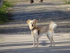 Pongo .... (Deneb56) Tags: dog dogs cane del sguardo bassano pongo grappa