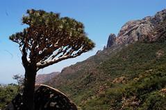 Dragon Tree on Soqotra (Marc Röhlig) Tags: tree nature blood dragon culture arab arabia environment yemen soqotra