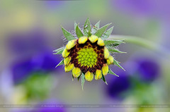 Colors Of Spring (3) (ArvinderSP) Tags: flower photography spring background bud viola colorsofspring naturephotography 2015 596 natureupclose galadia arvindersingh arvindersp arvinderspcom