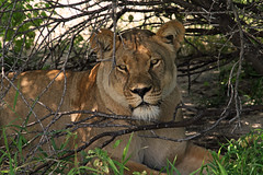 Lioness Resting under a Tree (onurbwa51) Tags: central tired shade rest botswana kalahari lioness busch drowsy observing beobachten schlfrig