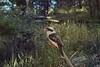Kookaburra 2 (everyday sh⊙_☉ter) Tags: park beach forest sydney waterfalls kookaburra wattamolla garie royalnationalpark audley stanwell hackerriver