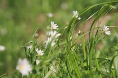 (RucksackundKamera) Tags: flower nature forest natur pflanze blume wald stellariaholostea wildpflanze grosesternmiere