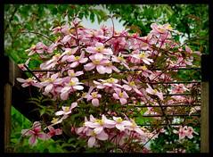 Clematis montana (karin_b1966) Tags: plant flower nature garden blossom natur pflanze blume blte garten 2016 clematismontana yourbestoftoday
