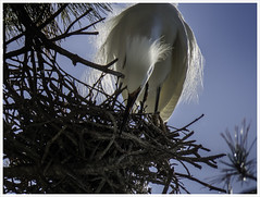 Construction Stage (karith) Tags: nature birds colony waterbirds egrets nests karith manynestsinonetree
