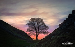 Sycamore Gap ( Ian Flanagan) Tags: sunset tree canon landscape photography colours dusk gap sycamore 5d hadrianswall sycamoregap ef24105mmf4l leefilters