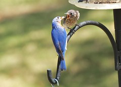The Bottomless Pit (hennessy.barb) Tags: blue feeding parent hungry bluebird fledgling easternbluebird babybluebird bluebirdparent