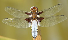 Broad-Bodied Chaser (Libellula depressa) (postman.pete) Tags: de dog england europe fall family fashion festival film florida flower flowers food football france friends fun garden germany girl graffiti green halloween hawaii holiday house india iphone island italia italy hwcp colchester essex animal outdoor songbird wild deer lizard common plant bird wren sing blue bell pussy bee lady yellow weed pigeon liz ard texture abstract butterfly worm curve brown argus aricia agestis insect broadbodied chaser libellula depressa