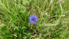 Nublado (unoales) Tags: flower grass azulejo aciano despejado