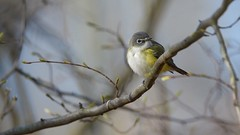 Blue-headed Vireo (AG Irwin) Tags: park blue ontario rondeau headed provincial vireo 2016 garyirwin